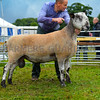 Blue faced Leicester progeny champion