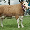 Simmental Champion at Perth Show 16. Heather Duff, Pitmudie Farm, Brechin.