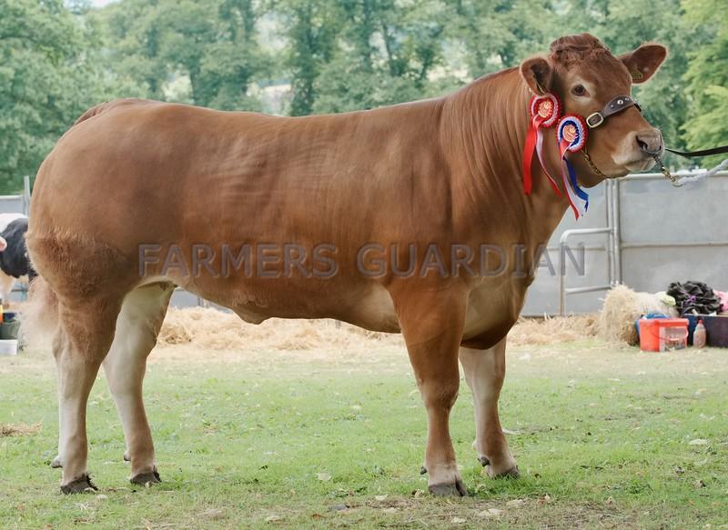 Limousin Champion at Perth Show 16. From D. McBeath & S .J  Jessop Greenyards Farm, Bannockburn, Stirling.