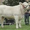 "Champion Charolais at Perth Show 16 ""Firhills Jasmine"" from J. Muirhead, Firhills Farm, Letham Grange, Arbroath."