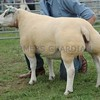 Beltex Sheep Champion at Perth Show 16 Ewe from Ian Reid, Isla Cottage, Methven, Perth.