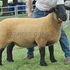 Suffolk Sheep Champion at Perth Show 16 from Robert Bryce,Chalmerston Farm, Stirling.
