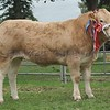 Commercial Cattle Champion at Perth Show 16 From Wilson Peters, Cult Farmhouse, Monzie , Crieff.