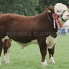 Hereford Champion at Perth Show 16.  Bull from J M Cant & Partners, Easter Knox, Airbirlot, Arbroath.