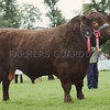 Any Other Native Breed of Cattle Champion at Perth Show 16. A Lincoln Red Bull from Andrew Mylius & Partners, St Fort Estate, Newport-on-Tay.