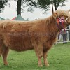 Highland Cattle Champion at Perth Show 16. From Mark Brains, Millfield, Sunderland.