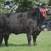 "Aberdeen Angus Champion at Perth Show 16. ""Retties Lady Ruth"" from Donald Rankin, Skye."