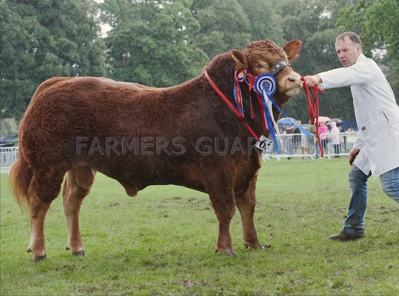 "Limousin Champion at Perth Show ""Ballinloan Mountain"" from Stuart Fotheringham, Ballinloan, Trochry, Dunkeld."