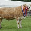 "Perth Show Supreme champion and also champion of the Scottish Simmental National Show ""Kennox Tara's Gem"" from David Craig, Kennox,Stewarton."