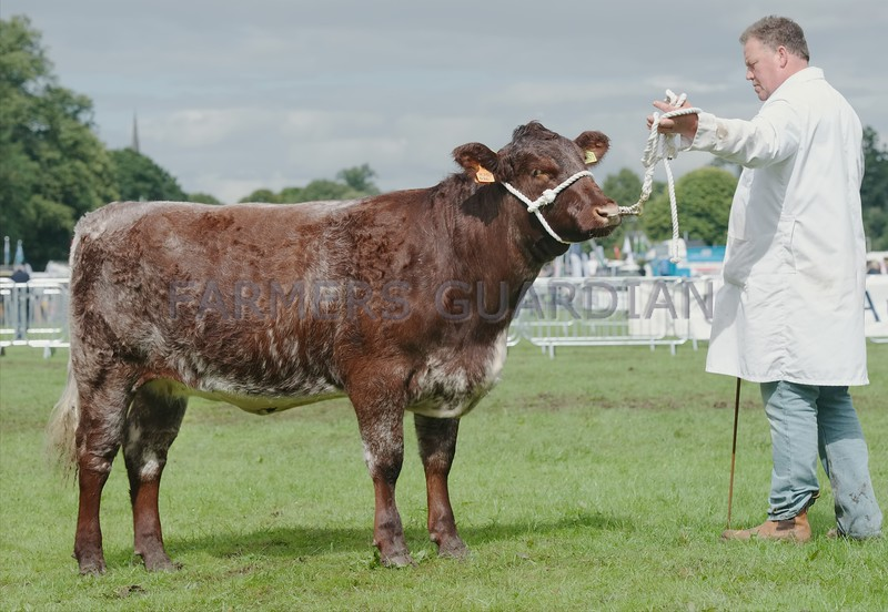"Shorthorn Champion at Perth Show ""Coldrochie Broadhooks"" from  D. McMillan, Moneydie Rodger, Luncarty."