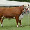 "Hereford Champion at Pert Show ""Baldinnie 1 Cathy 49th"" from John A Cameron & Son, Balbuthie, Kilconquhar."