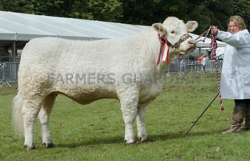 "Charolais Cattle Champion at Perth Show "" Balthayock Lisa"" from Major David Walter,Balthayock Home Farm, Perth."