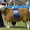 Highland Cheviot champ 1193