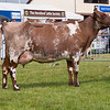 The Dairy Shorthorn champion, Drisgol Dinnie 13 from S. V.B. and E. A. Thomas.