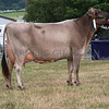 The Brown Swiss champion, Quarry Cosmos Heke from M. Williams.