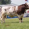 The Beef Shorthorn champion, Cairnsmore Dominator from T. C. and A. J. Ruby of Ashwater, Beaworthy, Devon.