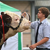Bull and handler, Royal Welsh Show 2013