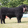 The champion Welsh Black, Graig-Goch Berwyn 74th from C. Lewis.