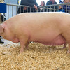 The interbreed pig champion, British Lop sow Bezurrell Actress 263 from Giles Eustice of Connor Downs, Hayle, Cornwall.