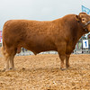 The interbreed beef champion, Devon bull Mells Park Bertie from John Ward of Mells, Frome, Somerset.