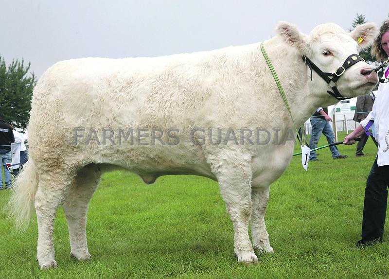 Charolais Breed Champion No  145 White ANM-RCB-914-4237