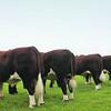 Hereford Senior Bull Class ANM-RCB-914-3693
