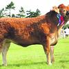 Interbreed Beef & Limousin Champion No  284 Mash ANM-RCB-914-4754