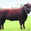Red Ruby Devon Champion No  192 Cowell ANM-RCB-914-4182