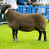 Blackface champion a ewe from Mr Malcolm R Coubrough.