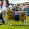 Cheviot champion a Tup from Mr James Common and Son.