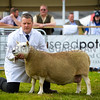 North Country Cheviot Hill type champion a ewe from Mr J.M. Elliot.
