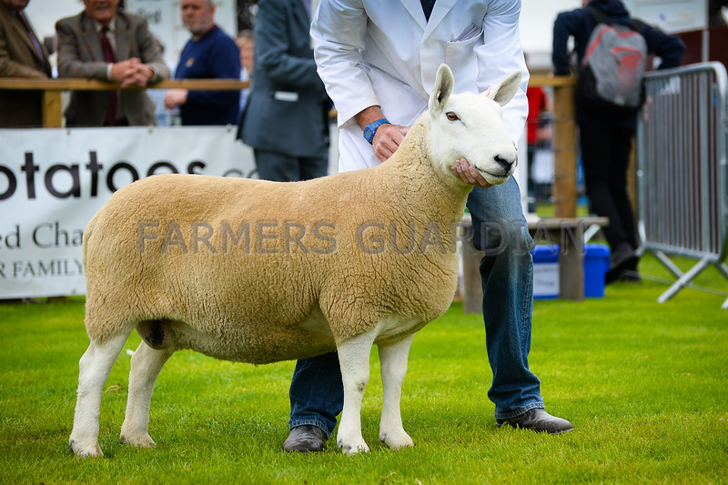 North Country Cheviot champion a ewe from J. Runciman and Sons.