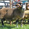 Longwool sheep champion a 2 shear Blackface ram from Miss K.M. Creer.