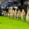 Royal Ulster Winter Fair Judge, Brian Behnke looks over the entries in the Holstein Championship. Photograph: Columba O'Hare/ Newry.ie