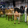 Cattle line up for the Interbreed Championship at the Royal Ulster Winter Fair. Photograph: Columba O'Hare/ Newry.ie
