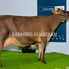 Quintrell Kyros Indigo from The Fleming Family, Seaforde was the Champion Jersey at the Royal Ulster Winter Fair. Lyndsay Fleming is pictured exhibiting the winner. Photograph: Columba O'Hare/ Newry.ie