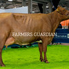 Georgia Kerr exhibits Ballytrain Marina 6th, the Champion Dairy Shorthorn at the Royal Ulster Winter Fair. The prizewinner was owned by James Lambe, Castleblaney. Photograph: Columba O'Hare/ Newry.ie