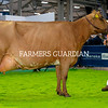 Michael Hunter, Crumlin, exhibits Ardmore Janet 110, the Ayrshire Champion and Reserve Interbreed Champion at the Royal Ulster Winter Fair. Photograph: Columba O'Hare/ Newry.ie