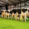 Entries in the Holstein Championship at the Royal Ulster Winter Fair. Photograph: Columba O'Hare/ Newry.ie
