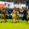 Jersey judging underway at the Royal Ulster Winter Fair. Photograph: Columba O'Hare/ Newry.ie