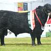 Welsh Black champion bull Craig-Goch Berwyn from Mr Carwyn Lewis.
