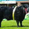 Welsh Black champion Trefychan-Ar-Daf Dilys 16th from Mrs Sally Lloyd.