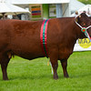 Devon Cattle champion Colleton Marion 27th from Mr and Mrs S and G Phillips.