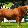 Limousin champion Tunnelby Inca from Miss Jessica Simms.