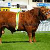 Devon champion bull Al Z Eyton SAS Leo 1, from Roden Livestock.