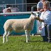 The Lleyn champion, a shearling ewe from Christine Lewis of Trefeglwys, Caersws, Powys.