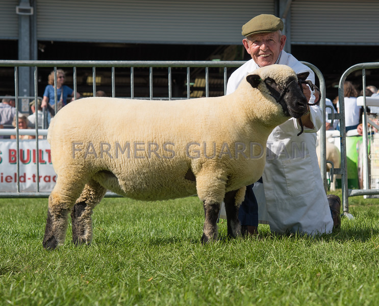 The Hampshire Down champion, a shearling ewe from Miss G. A. McDowell of Billesdon, Leicestershire.