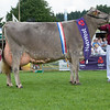 The Brown Swiss champion, Quarry Zeus Orange from M. W. and G. M. Williams of Llangain, Carmarthen, Carmarthenshire.
