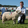 The Welsh Mountain Hill champion, a ram lamb from Enoc Jenkins of Talybont, Ceredigion.