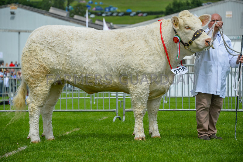 Charolais champion Sportmans Ladyship from Boden and Davies Ltd.